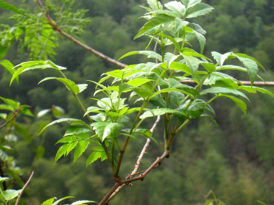 Так выглядит зеленый лист Куганьлу.