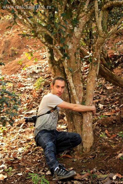 Это большие и древние чайные деревья в провинции Юньнань. Чайный лист, собранный с таких деревьев, считается наиболее ценным. Из него получаются самые офигенские Пуэры!