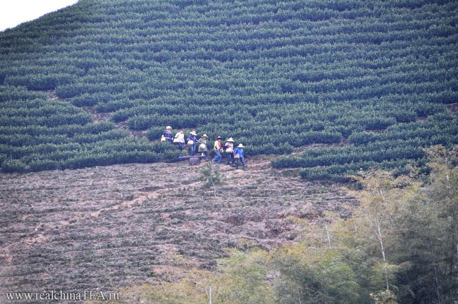 Чайные тетушки вечером спускаются с плантаций в деревню.