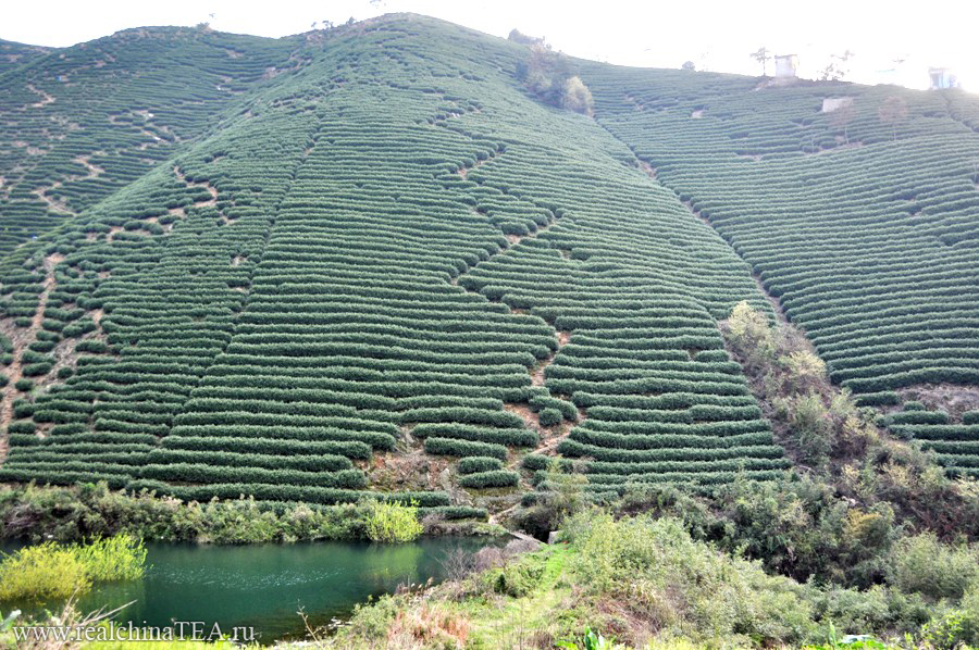 Ну а сейчас давайте отправимся в деревню и посмотрим, как этот чай растет.