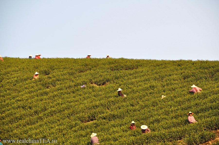 Плантации Аньцзи Байча в чайной деревушке 黄杜村。