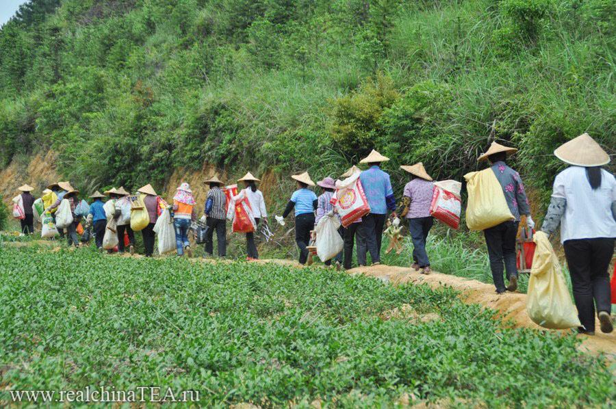Китайские чайные тетушки возвращаются с плантаций