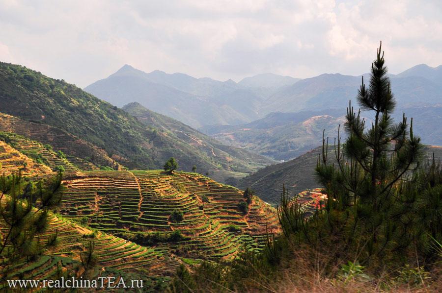 Чайные террасы Тегуаньинь