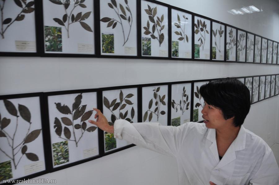 Начальник лаборатории объясняет, как по внешнему виду отличаются одни сорта чайных кустов от других.