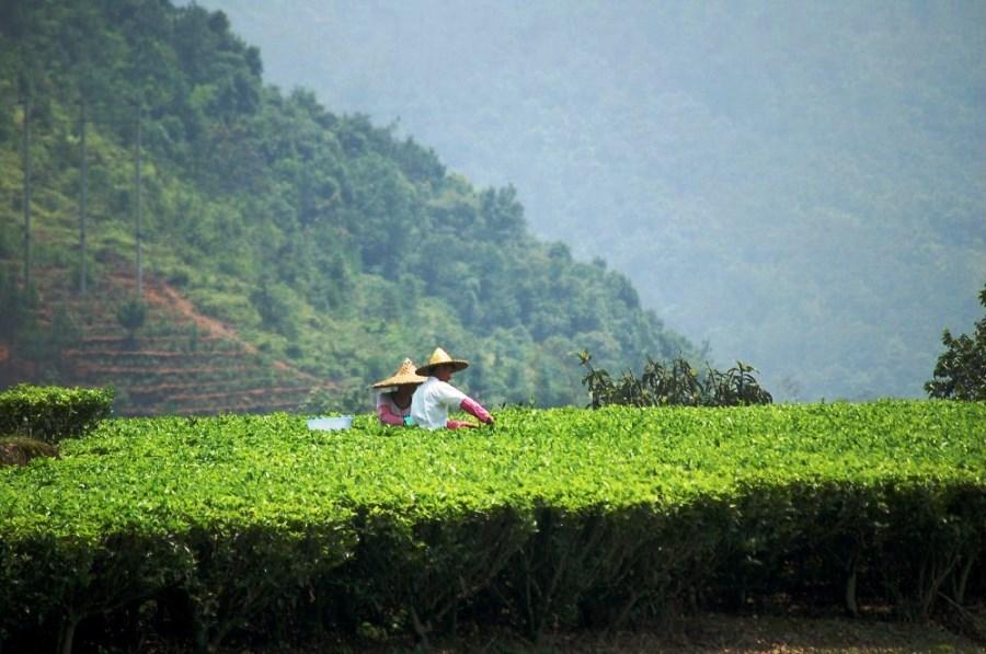 Весенний сбор чая Фэн Хуан Дань Цун