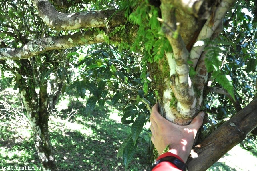 Вы часто видите такие стволы чайных деревьев? Я - нет! ))