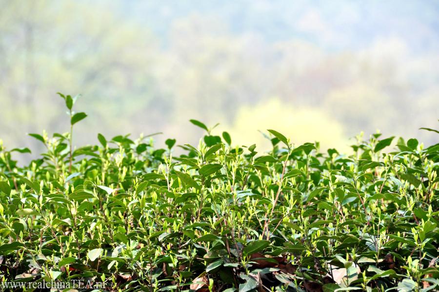 Молодые чайные побеги. Через два-три дня они подрастут еще немного. Их снимут и в этот же день приготовят волшебный и ароматный Лунцзинь.