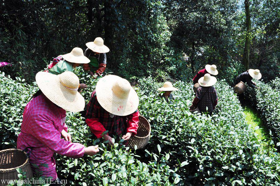 Чайные тетушки на плантациях собирают молодые листочки. С раннего утра до позднего вечера они успевают подняться в горы и спуститься на мануфактуру по несколько раз.