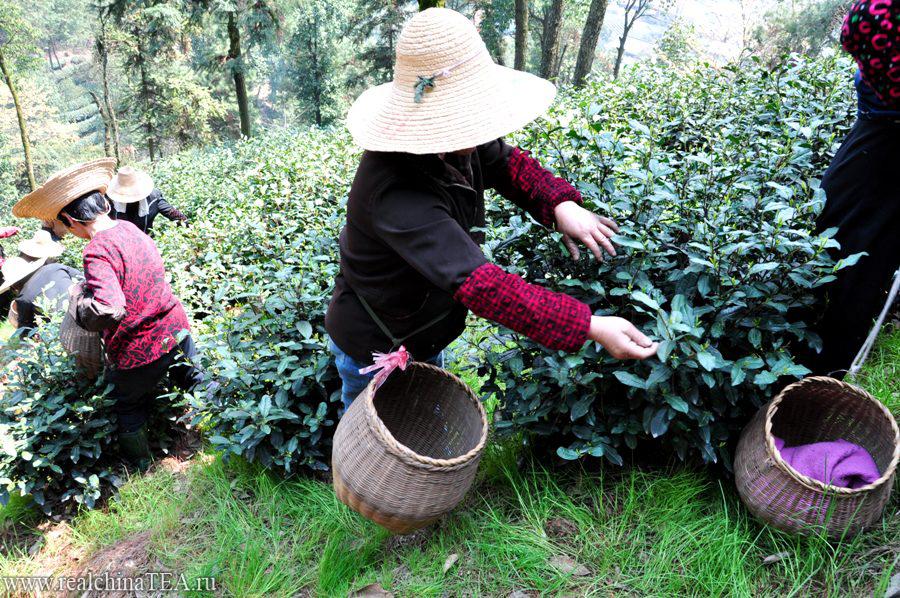 Чайные тетушки - это мои любимые люди в Китае. Это очень простые деревенские женщины. Но именно на них держится чайная тема в Китае. Это именно они собирают тот лист, который вы сейчас завариваете у себя в чашке. И не смотря на свою кажущуюся легкость, сбор чайного листа - это тяжелый физический труд.