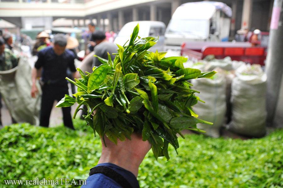 Так выглядит сырье для любого из этих трех видов белого чая - Байхао Иньчжэнь, Баймудань или Гунмэй