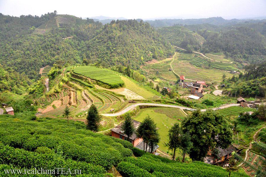 Плантации белого чая рядом с деревушкой Байлю Цунь (柏柳村). Этот кадр был сделан сегодня утром.