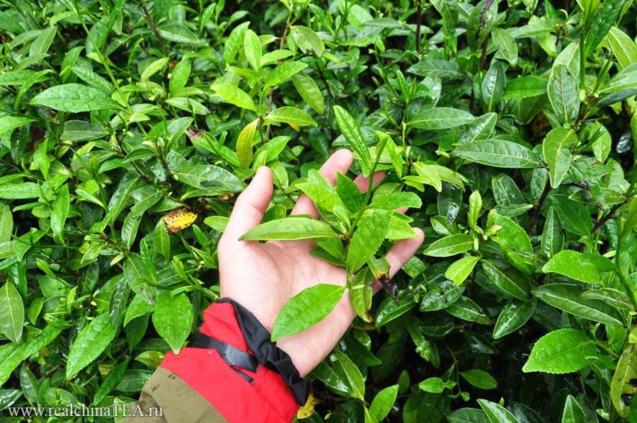 Лист для производства красных уишаньских чаев совсем небольшого размера. Я специально сделал снимок в масштабе своей руки, чтобы было наглядно видно.