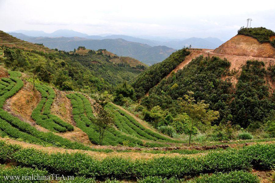 Это все Тегуаньинь! Красивейшие чайные плантации Тегуаньинь.