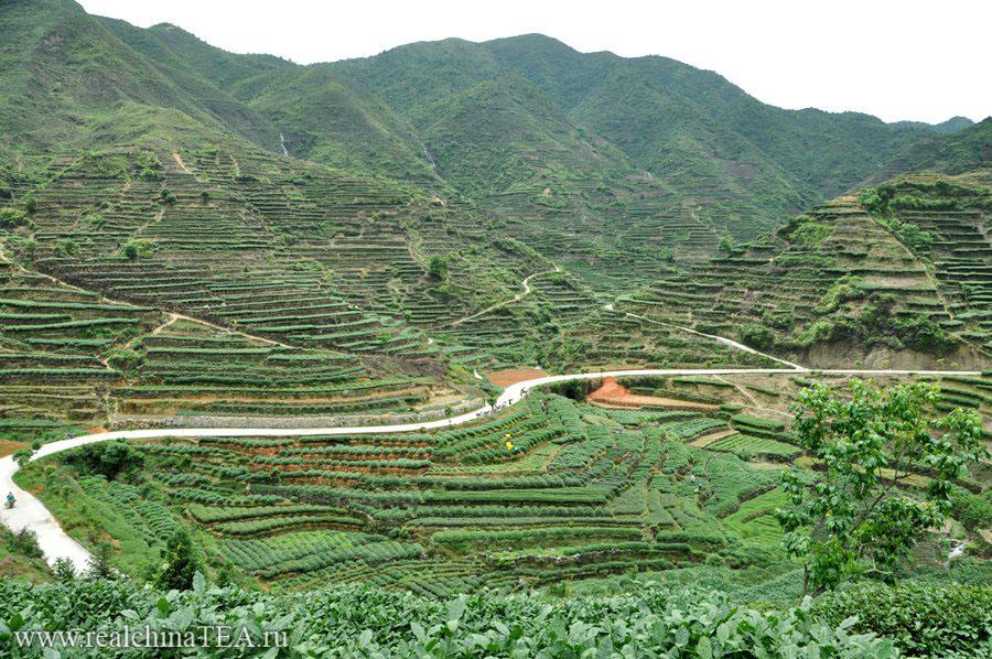 Плантации чая Тегуаньинь в уезде Аньси.