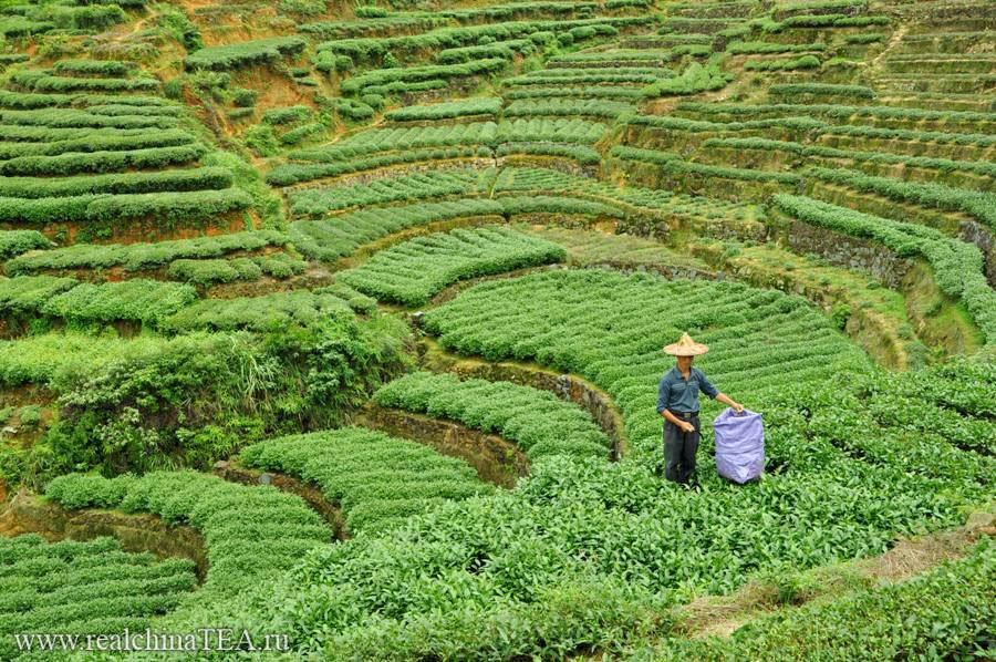 Чайный дядюшка собирает свежий лист. Мне очень нравятся люди, которые работают на плантациях. Они - другие.
