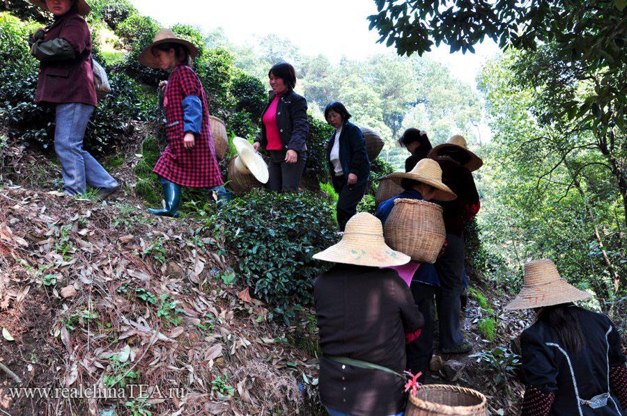 Сборщицы зеленого чая по несколько раз в день поднимаются в горы
