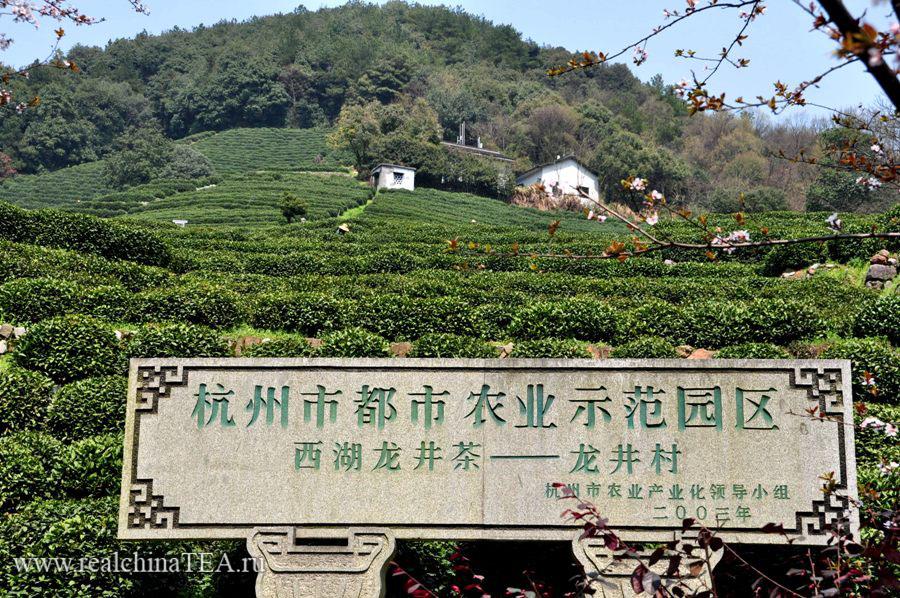 Плантации зеленого чая в провинции Чжэцзян