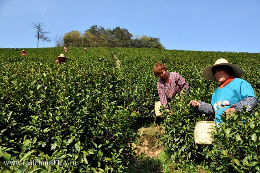 """Чайные тетушки проводят вводный инструктаж для """"белого иностранца"""", как именно нужно собирать лист"""