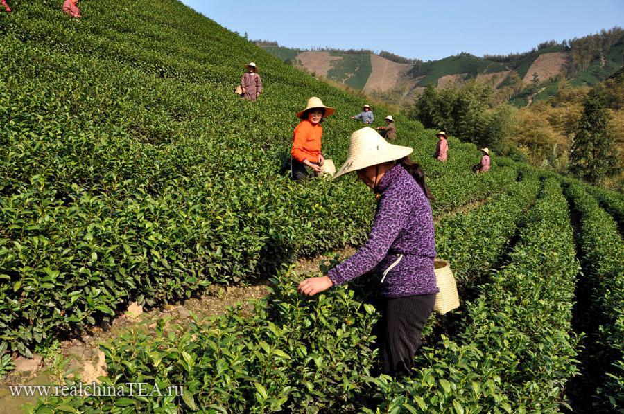Сборщицы на плантациях белого чая в 70 километрах от города Аньцзи