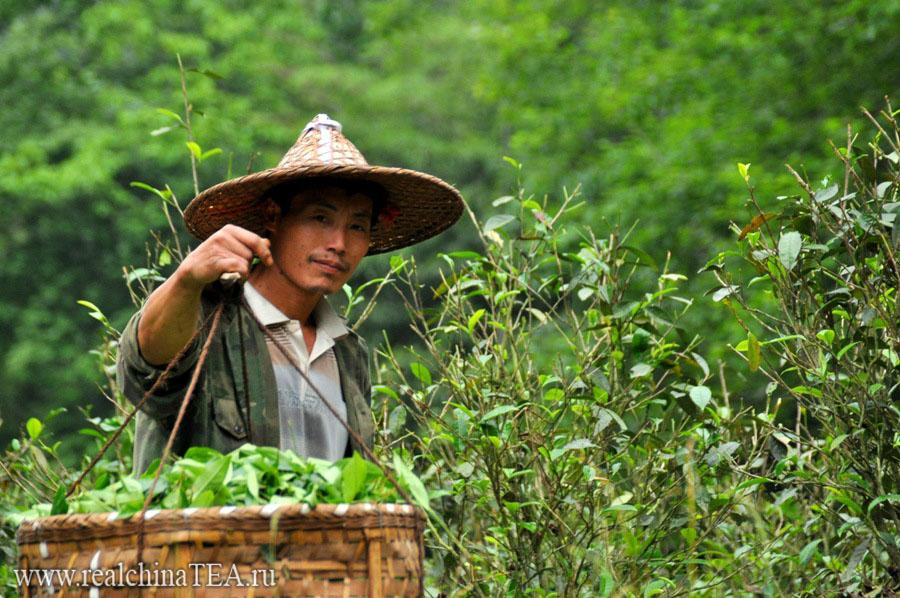 www.realchinatea.ru сбор  чая Дахунпао