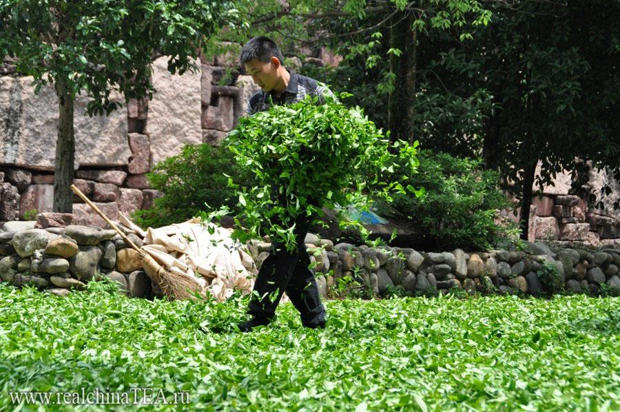 Просушка чайного листа Да Хун Пао www.realchinatea.ru