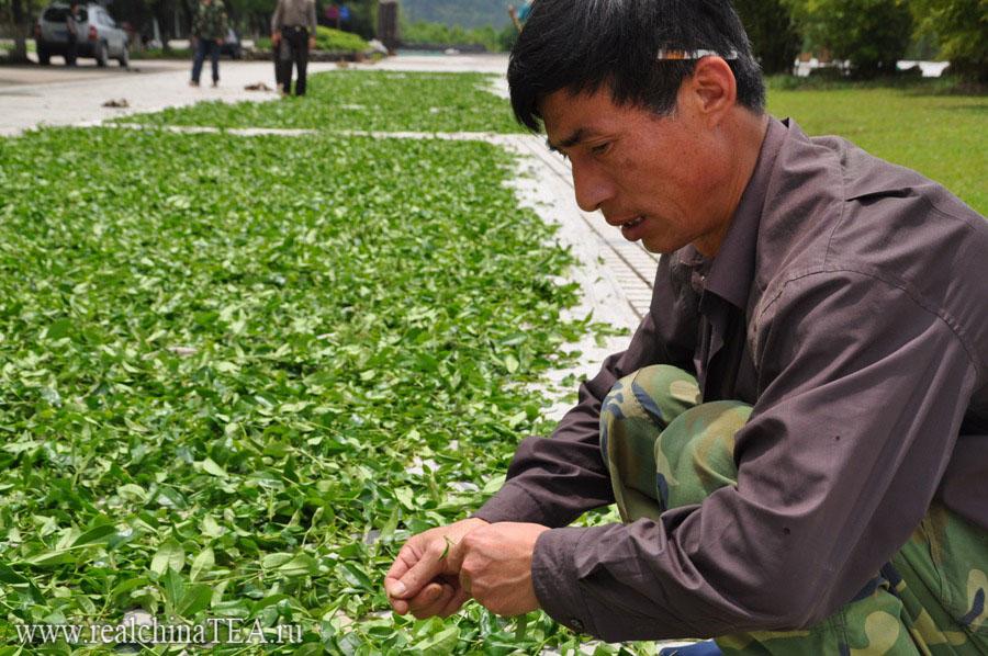 Переборка чайного листа в Уишань. www.realchinatea.ru