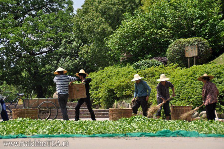Весенний сбор чая Шуйсянь www.realchinatea.ru
