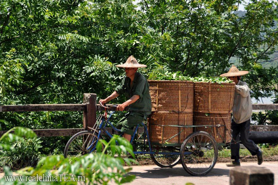 Чайный лист перевозят на всем, что движется. Уишань.  Весна 2011