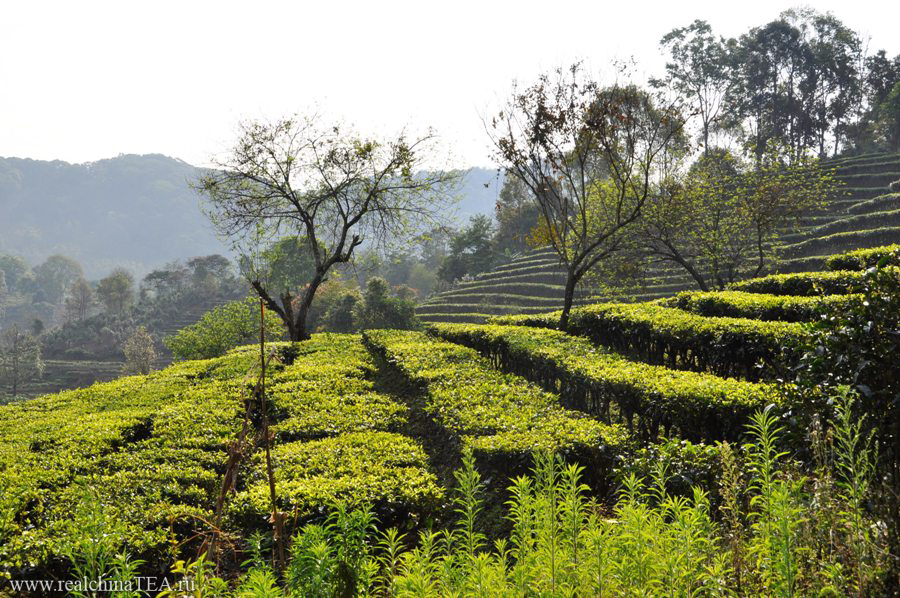 Чайные плантации в ИУ. Юньнань.