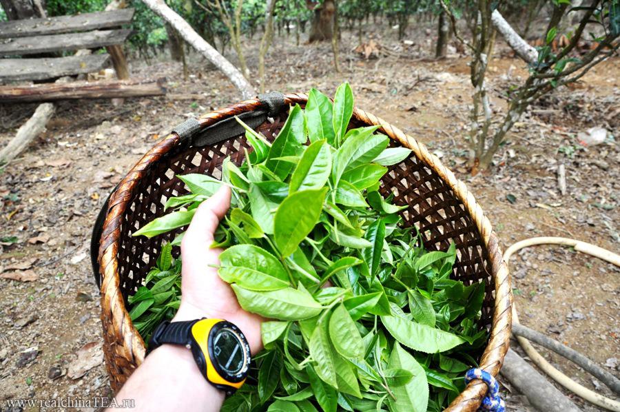 Этот свежий чайный лист, который мы собрали сами, мы потом сами же и обрабатывали на огне. А еще потом ели омлет с этим листом - местное блюдо.