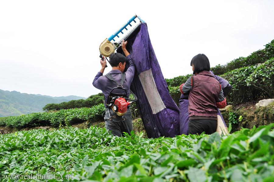 """Вот так, с помощью бензосекаторов, """"косят"""" чай на многих плантациях."""
