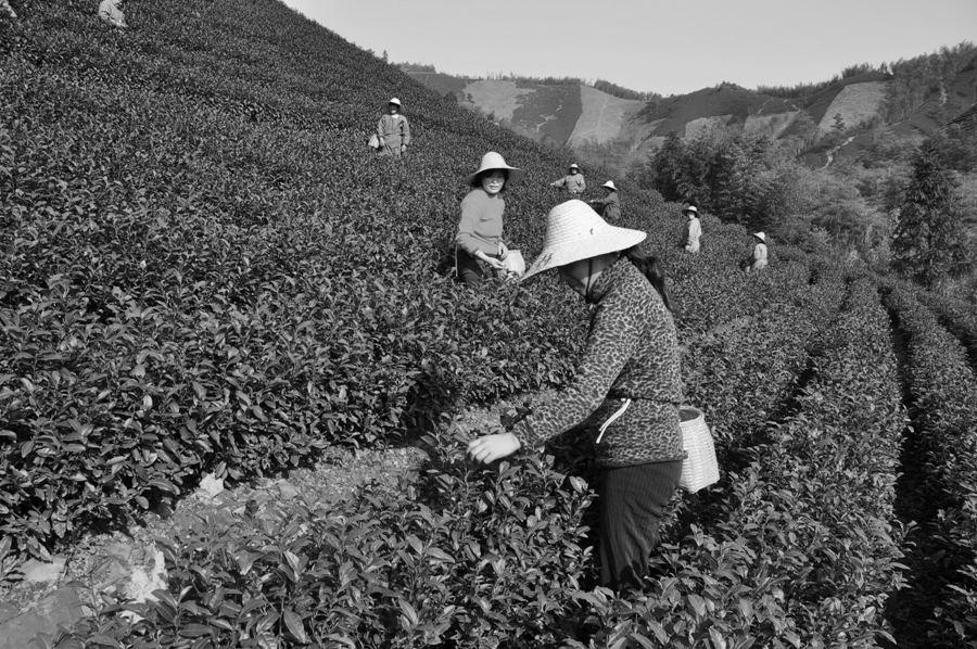 В Китае великое множество чаев. В каждой провинции - свои сорта. Это объясняется, в первую очередь, различиями в климате.