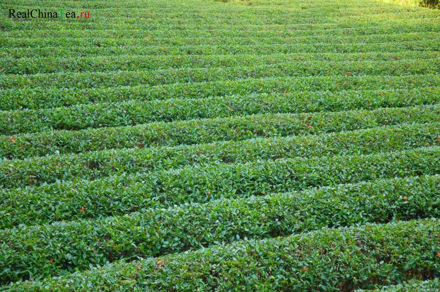 Дахунпао на чайных плантациях в Китае