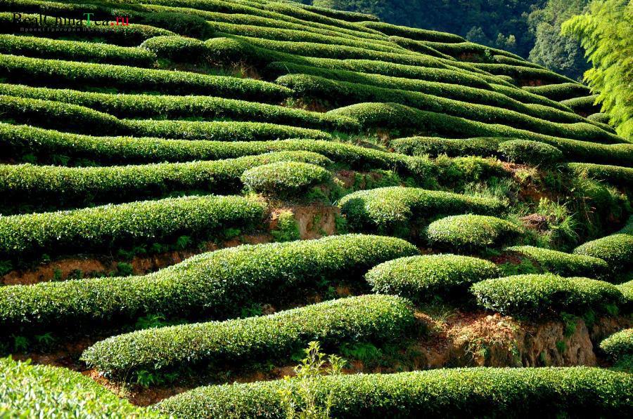 Плантации чая в Китае. Дахунпао. www.realchinatea.ru