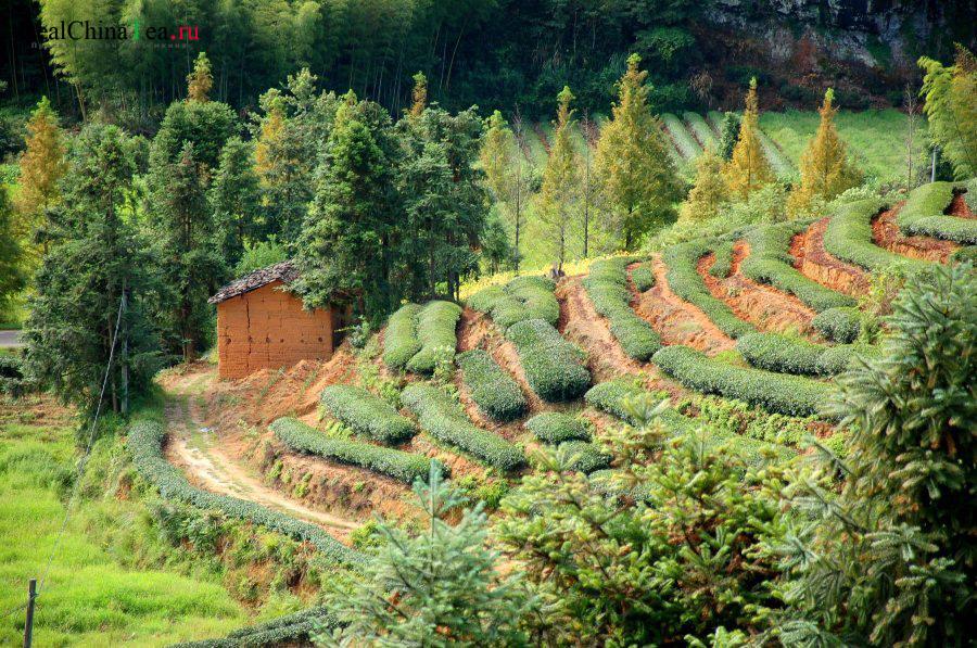 Как растет чай в Китае. www.realchinatea.ru