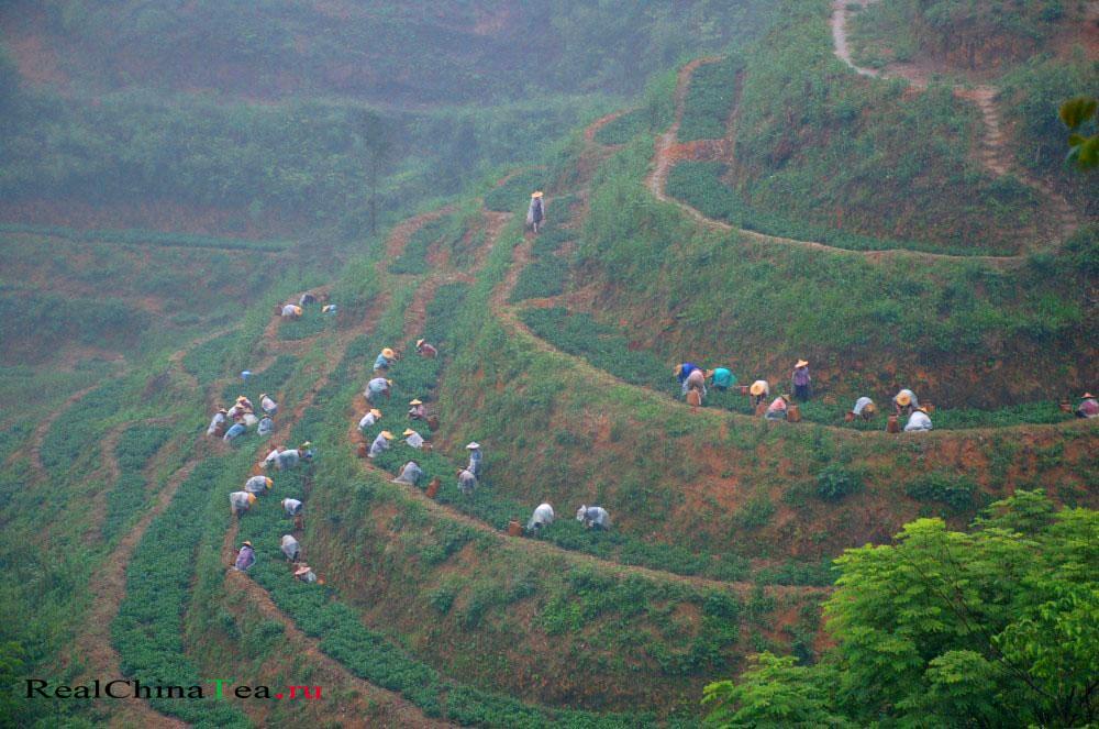 Чайные плантации Китай