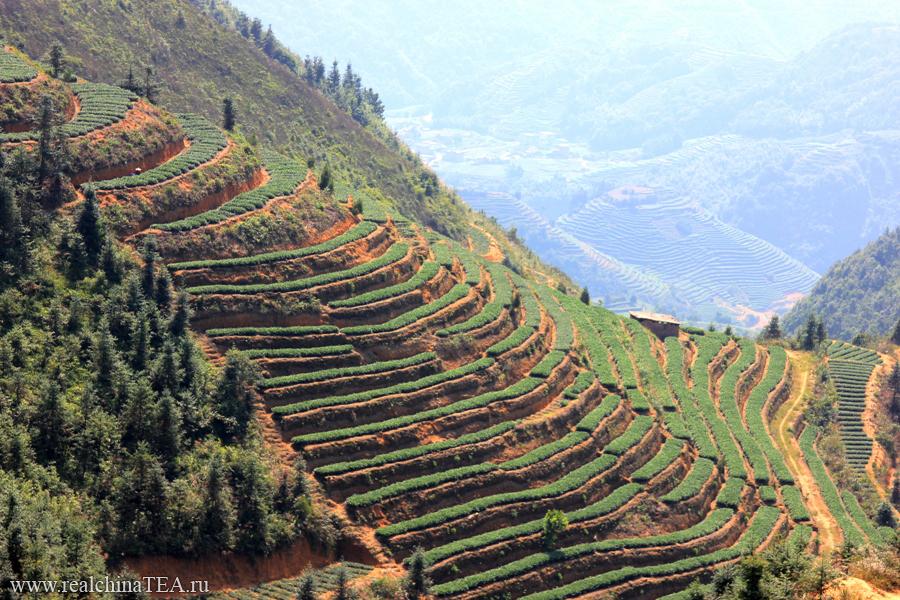 Плантации белых чаев в уезде Фудин. Из этих самых кустов производят Гунмэй.