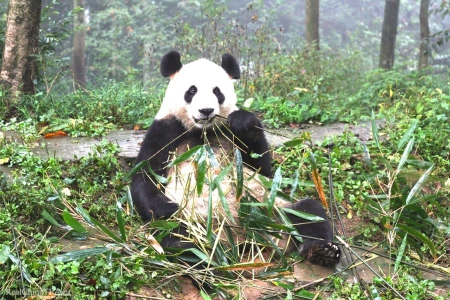 Наша знакомая панда. Мы договорились, она научит нас разбираться в бамбуке и объяснит, как можно счастливо прожить жизнь ничего не делая.