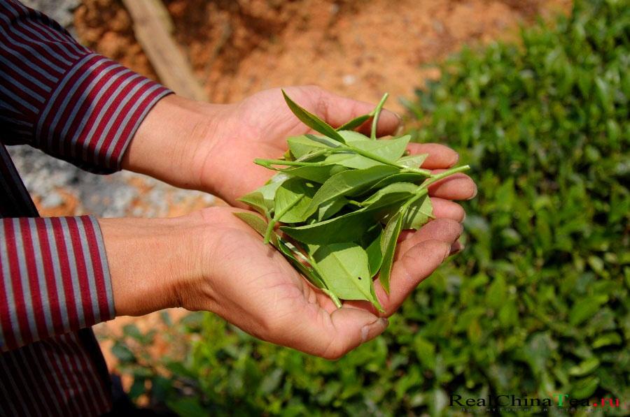 Чайный лист Шуй Сянь