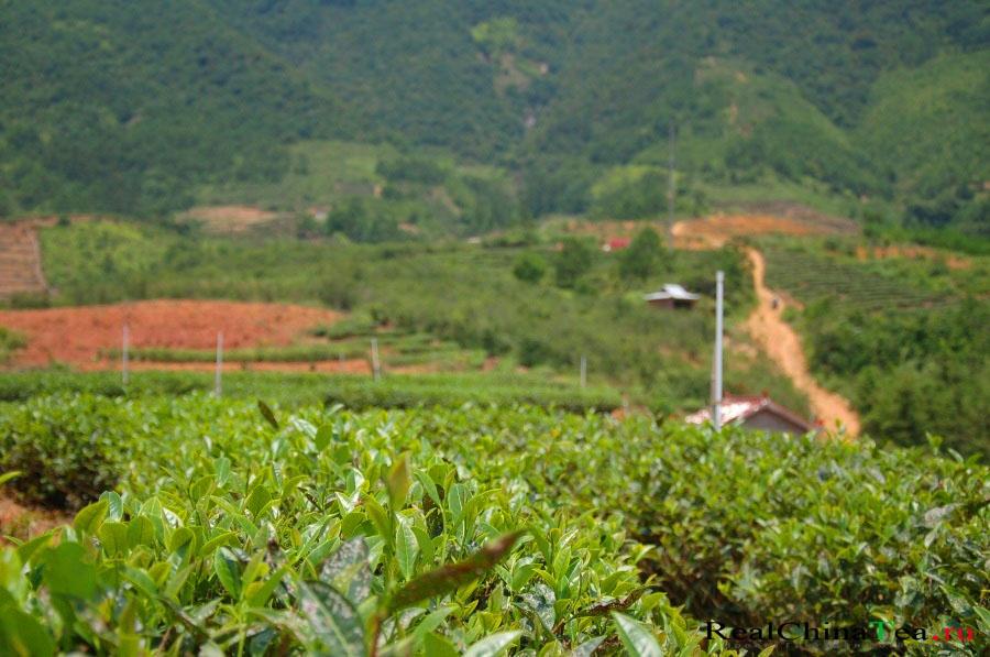 Как растет чай Шуй Сянь