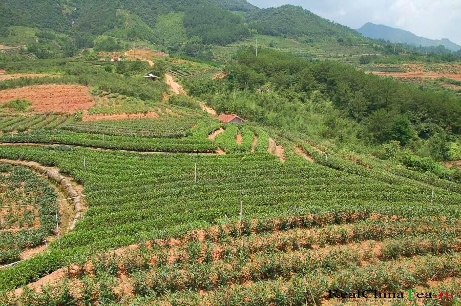 Чайные плантации Шуй Сянь