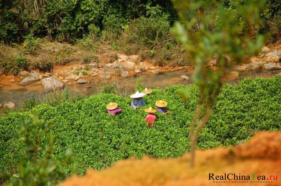Сборщики чая в Китае