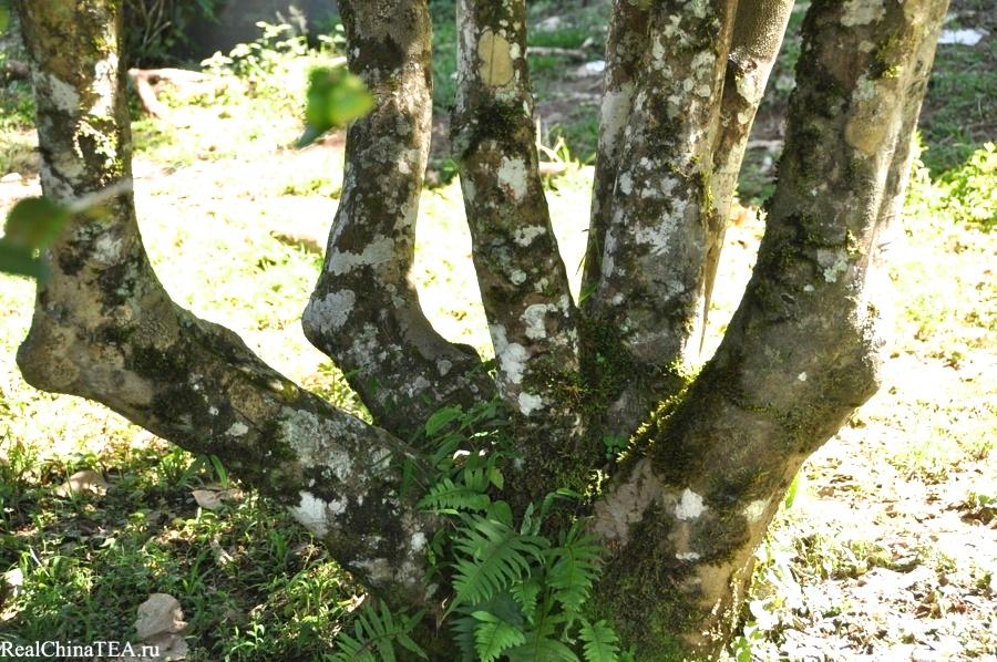 Гигантское чайное дерево. Деревня Лаобаньчжан. RealChinaTea.ru