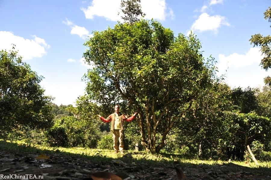Огромные чайные деревья в деревне Лаобаньчжан. www.realchinatea.ru