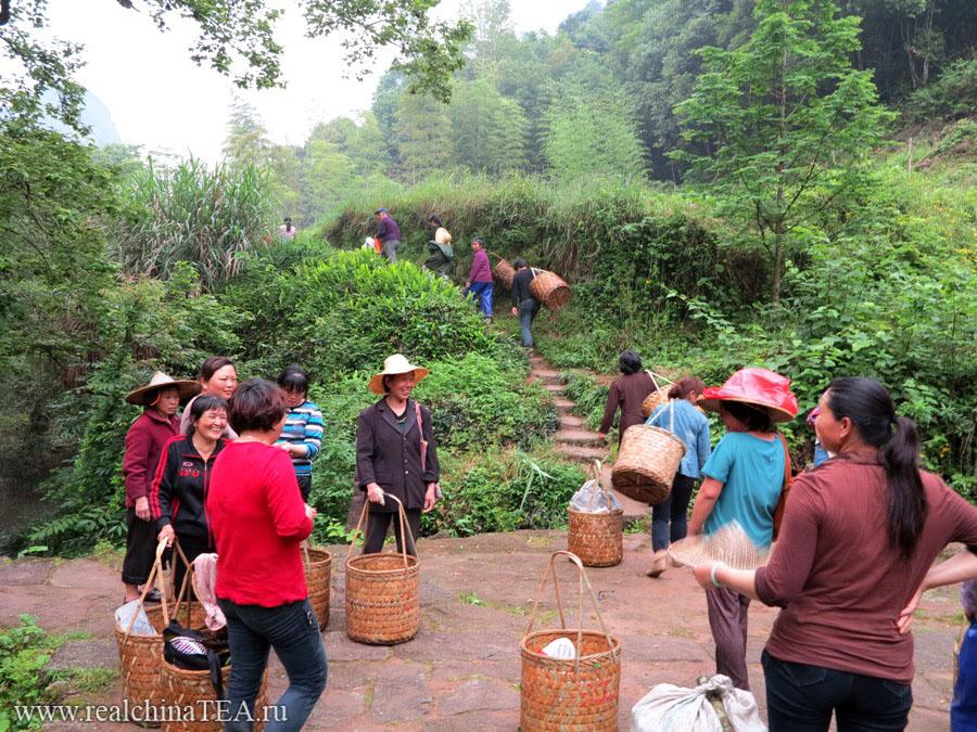 Китайские чайные сборщицы отправляются на работу в поля.