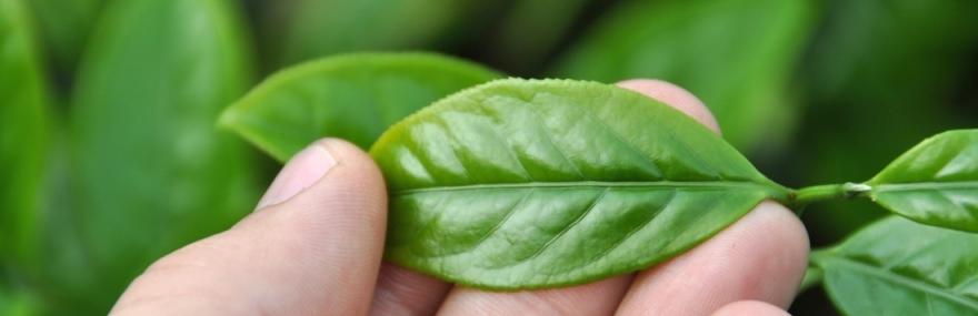 Фото Как выбрать китайский чай. Критерии качества