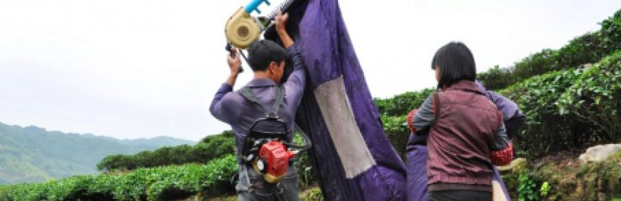 Фото Механизированный сбор чая