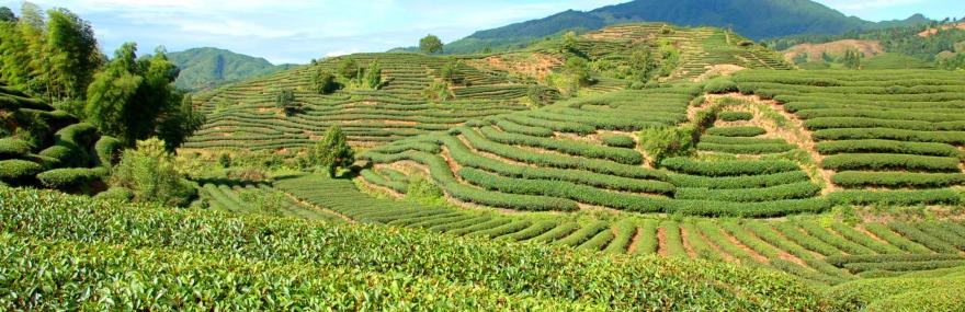 Фото От чего зависит цена на чай