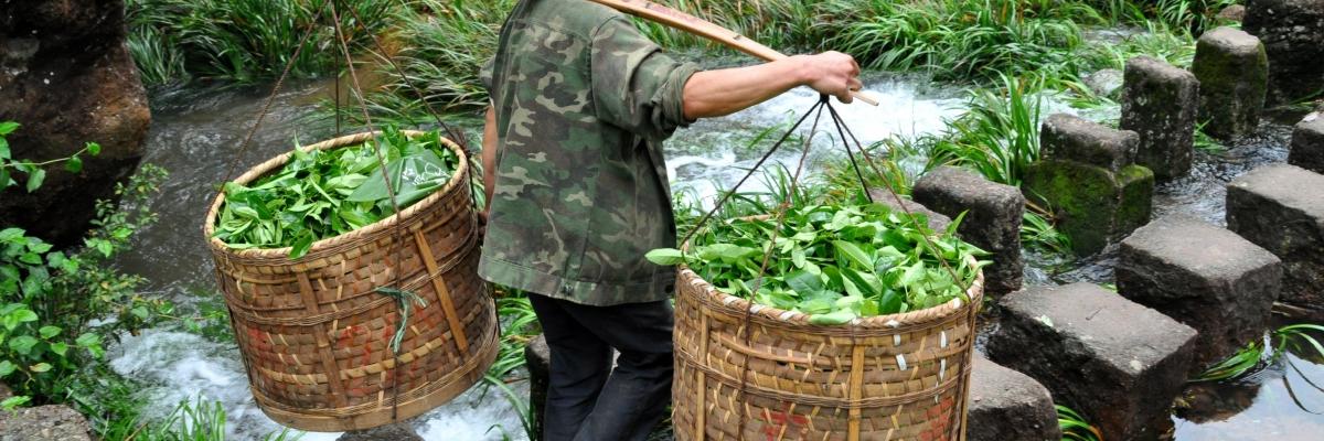 Мы знаем все о процессе производства чая