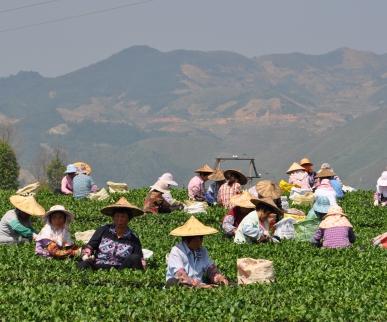 Китайский чай прямо с плантаций